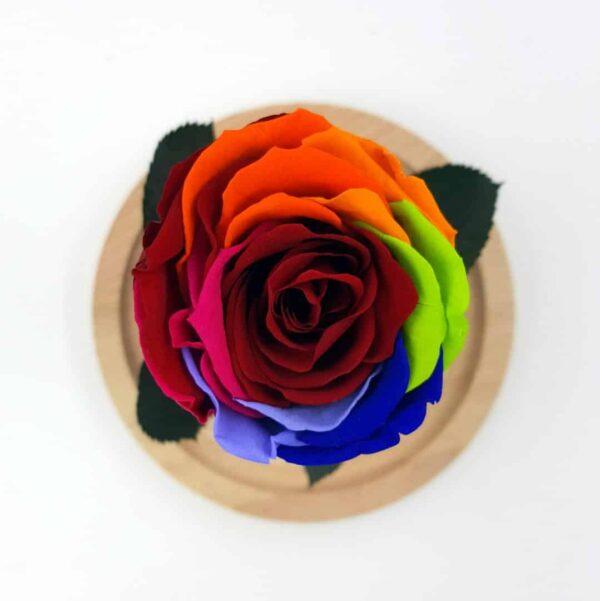 trandafir criogenat mmulticolor