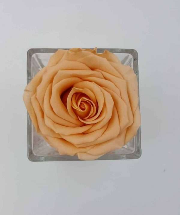 trandafir criogenat piersica