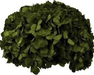 hortensie-green-olive