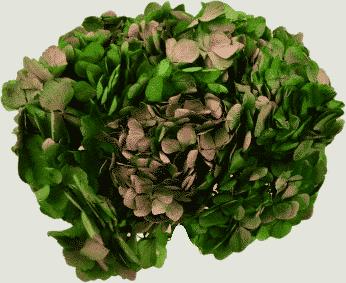 hortensie verde-roz